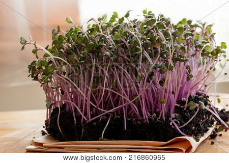 Red cabbage microgreens in soil on a wooden table