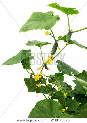 Cucumber plant. Cucumber with leafs and flowers isolated on white background. Cucumbers in the garden