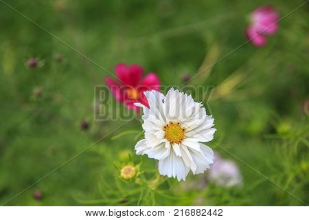 Mexican Aster white flower or Garden Cosmos, closeup at green background. Its Latin name is Cosmos Bipinnatus Radiance, native to Mexico. Popular annual plant cosmea.