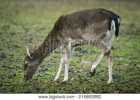 Roe Deers In Captivity
