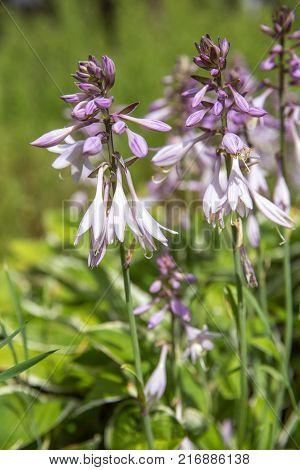 Violet flowers of blooming hosta Hosta undulata .