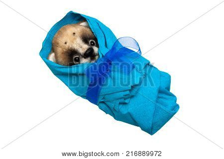 Baby bear in blue nappy isolated on white