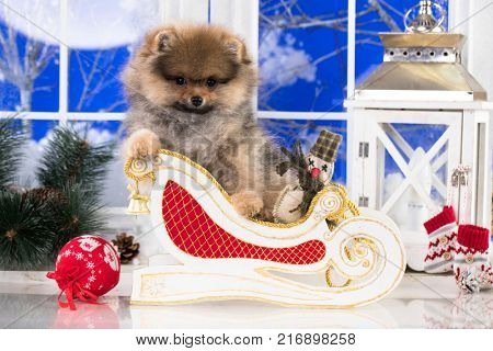 Spitz Pomeranian or Spitz-dog in studio on a christmas background