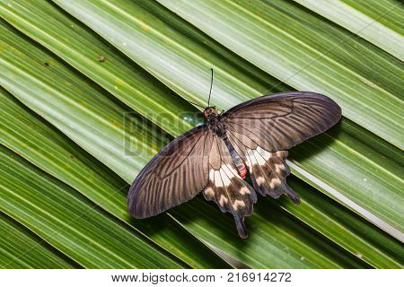Common Rose (Pachliopta aristolochiae) butterfly clinging on palm leaves dorsal view