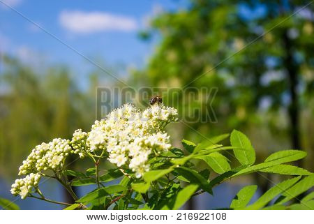 City Park spring - flowering viburnum Viburnum opulus , blurred background
