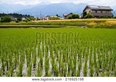 Hokata - Japan, June 6, 2017: Rice field with green young plants in spring, Hotaka, Japan