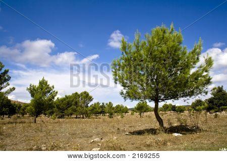 Sicilian Landscape, The Pines