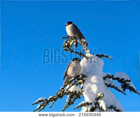 Grey Jay. Canada Jay. Couple of Grey Jays in a Douglas fir tree covered with snow. Garibaldi Provincial Park near Whistler Olympic Village Squamish and Vancouver. British Columbia. Canada.