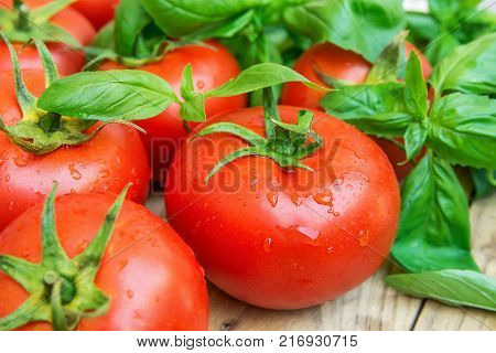 Heap of Fresh Ripe Organic Wet Tomatoes Scattered on Wood Kitchen Garden Table Green Basil Healthy Diet Mediterranean Style Vitamins Lycopene