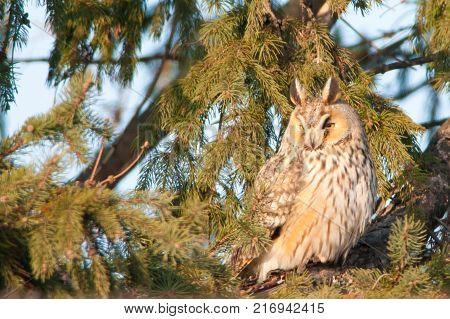 Long Eared Owl (Asio otus) on fir tree