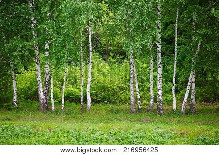birch grove at spring time. Close up, selective focus.