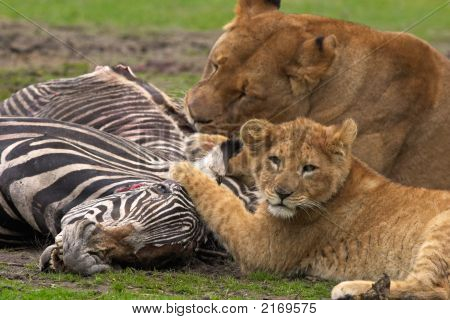 Lion Meal
