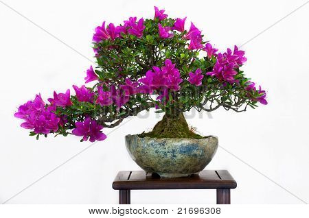 Azalea Tree As Bonsai Tree