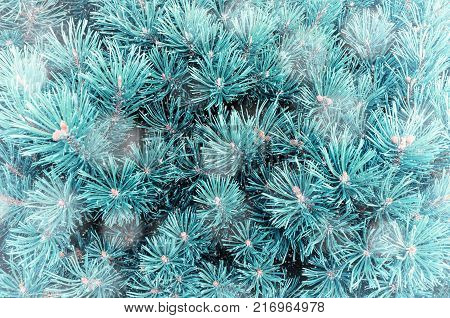 Winter background. Pine tree branches under winter snowfall, closeup winter forest nature. Winter forest trees, branches of winter forest pine tree under falling winter snow. Blue pine tree, winter forest landscape
