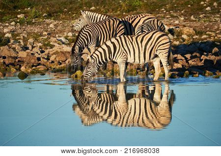 A small group of Burchell's zebras (Equus quagga burchellii) drink at a waterhole at Etosha National Park in Namibia photographed with their reflection.