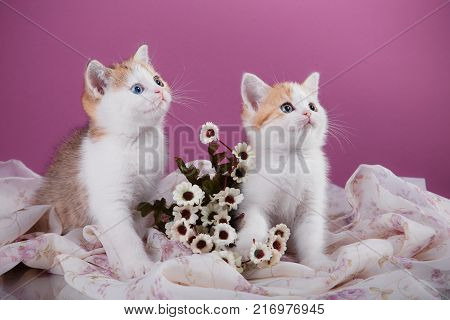 Small Cute Kitten Scottish Breed