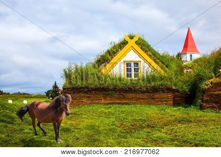 The concept of the historical and cultural tourism. Rural pastoral. Icelandic horse grazes on a green lawn. Ethnographic Museum-estate Glaumbaer, Iceland