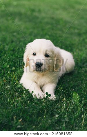 Puppy Golden Retriever pup rests on nature
