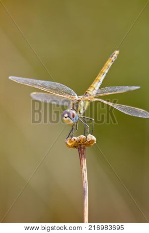 Image of a dragonfly ( sympetrum sp ) accomplished like photo of approximation.