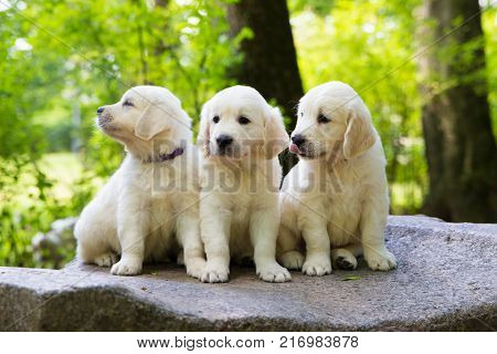 Puppy Golden Retriever pup posing outdoors in summer