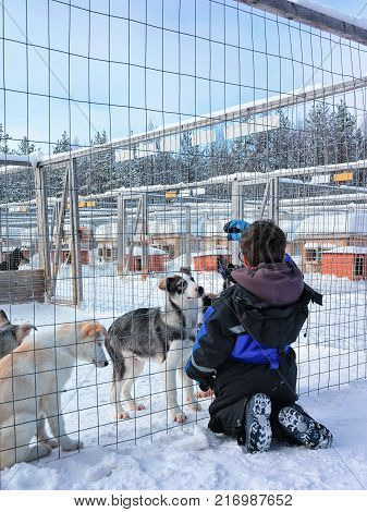 Child playing with husky puppies at enclosure in Rovaniemi Lapland Finland