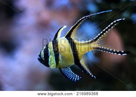 The Banggai cardinalfish (Pterapogon kauderni) a small tropical fish.