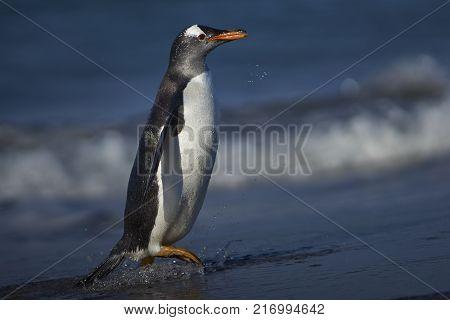 Gentoo Penguin (Pygoscelis papua) on a sandy beach on Sea Lion Island in the Falkland Islands.