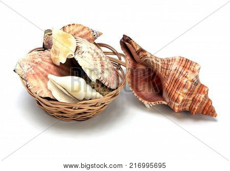 Shells of marine molluscs close-up on a white background