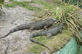 A pair of grey iguanas resting on the side of a pool poster