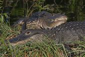 Pair of American Alligators sunning in the Florida Everglades after a fight (note blood on snout) poster