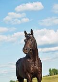 beautiful  black stallion at blue sky outdoor sunny evening poster