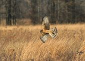 Immature Northern Harrier hunting for mice and voles in a meadow in the Great Swamp National Wildlife Refuge poster