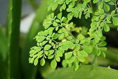 Moringa Oleifera known as the drum stick tree is an amazing tree, almost all its parts can be used as food or medicine, especially the leaves. poster