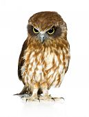 New Zealand owl in front of a white background poster