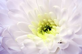 Macro of white aster flower heart and petals