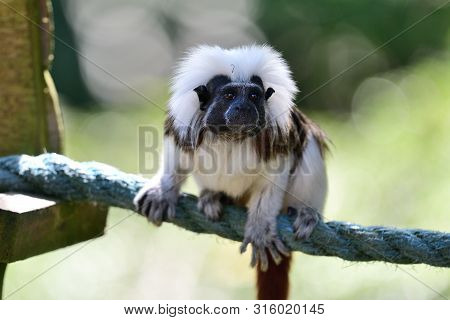Portrait Of A Cotton Top Tamarin (saguinus Oedipus) Sitting On A Rope In  A Zoo
