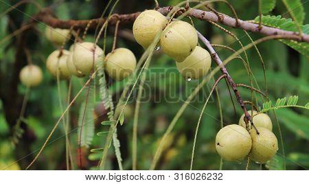 Amla Growing On A Tree. Amla, Emblica Officinalis, Indian Gooseberries, Indian Gooseberry, Amalaki,