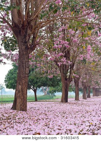 Pink trumpet tree blooming in countryside with farmland on backside(Tabebuia rosea Family Bignoniaceae common name Pink trumpet tree Rosy trumpet tree Pink Poui Pink Tecoma) poster