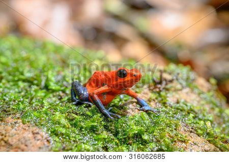 Red Poison Dart Frog - Oophaga pumilio, beautiful red blue legged frog from Cental America forest, Costa Rica. poster
