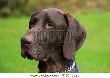 Portrait Of A German Shorthaired Pointer, 3 Year Old Male