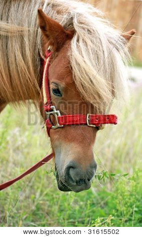 Portrait Of A Shetland Pony With Grass In The Mouth