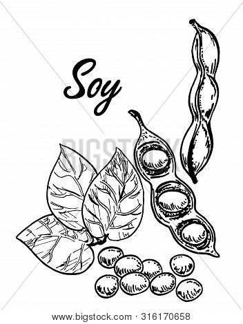 Soya Sketch. Detailed Hand Drawn Vector Black And White Illustration Of Green Soybeans