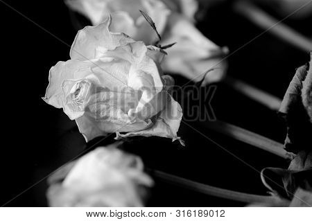 Withered white roses on a dark background close up, black and white poster