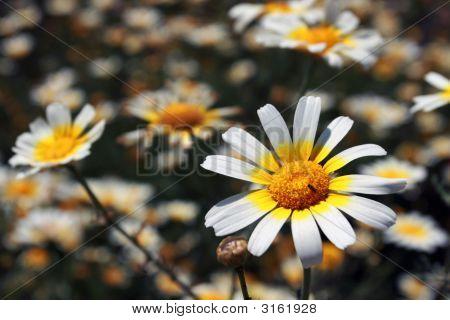 Daisy Flowers Under The Sunshine