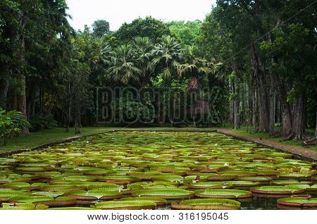 Pamplemousses botanical garden, pond with Victoria Amazonica Giant Water Lilies, Mauritius poster