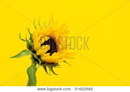 Sunflower On A Yellow Background.