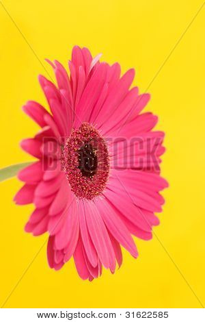 Gerbera On Yellow