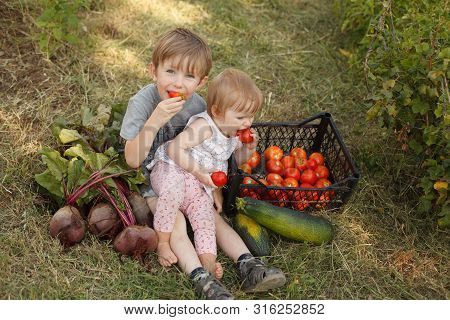 Two Small Children Together Harvest Vegetables In The Garden And Eat Tomatoes. Children Vegetarians