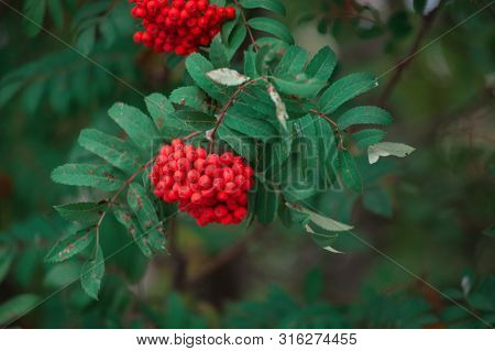 Rowan on a branch. Closeup horizontal photo. Red rowan berries on rowan tree. Sorbus aucuparia.