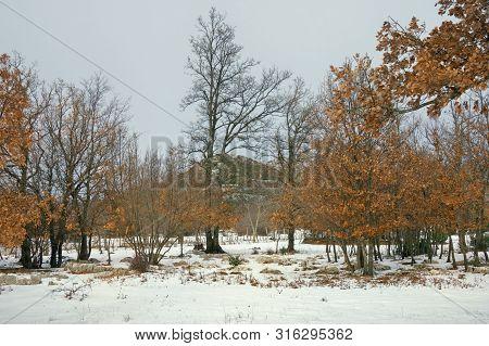 Oak Grove. Snowy Countryside Landscape On A Cloudy Winter Day. Bosnia And Herzegovina, Republika Srp